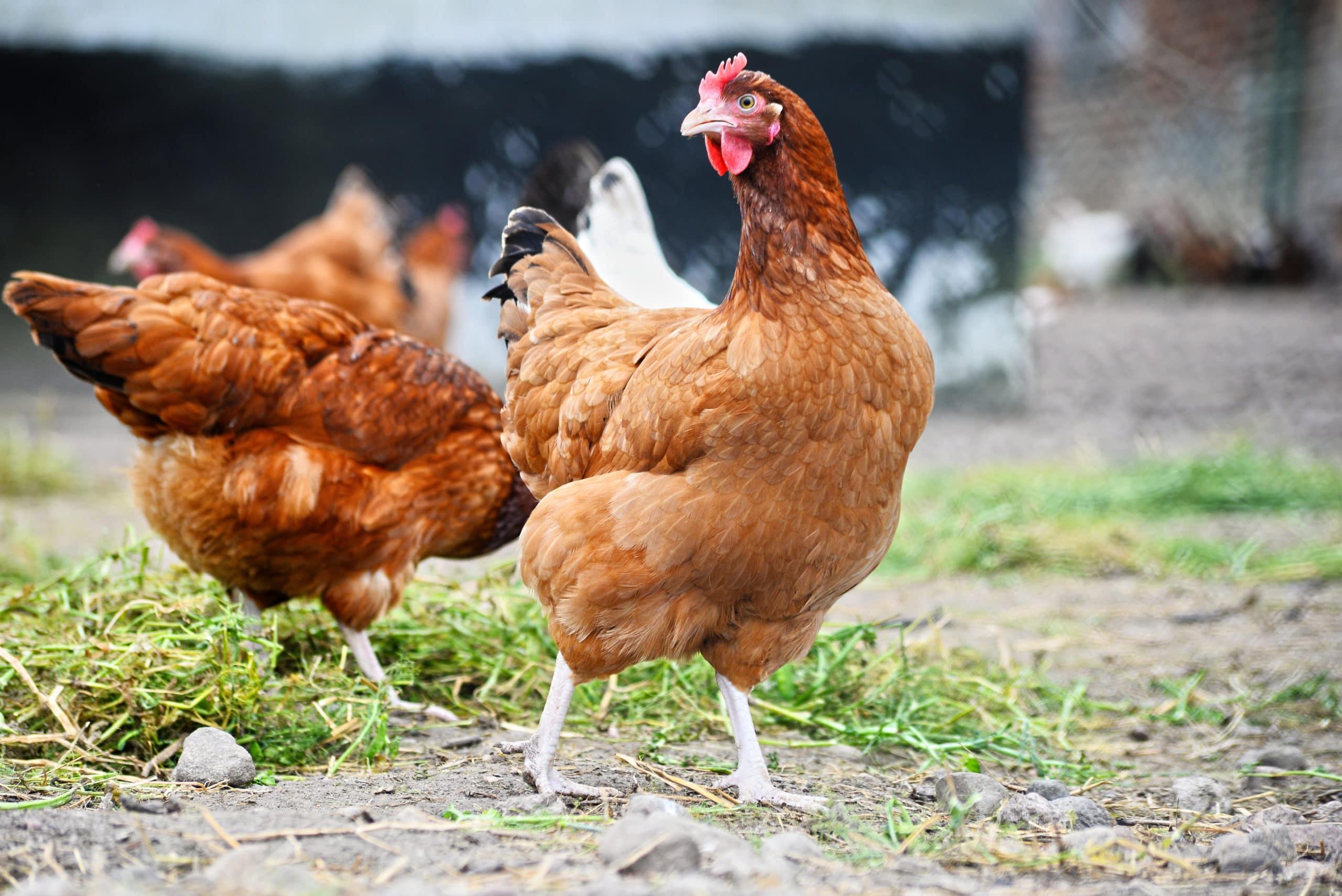 Hühnerstall gebraucht