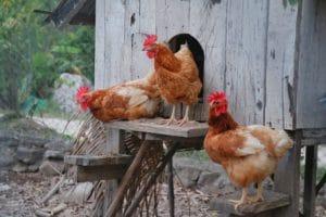 Hühnerrassen für Anfänger