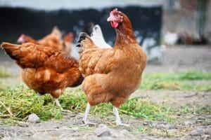 Für Anfänger geeignete Hühnerrassen