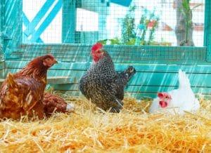 Hühnerstall einrichten: So klappt es