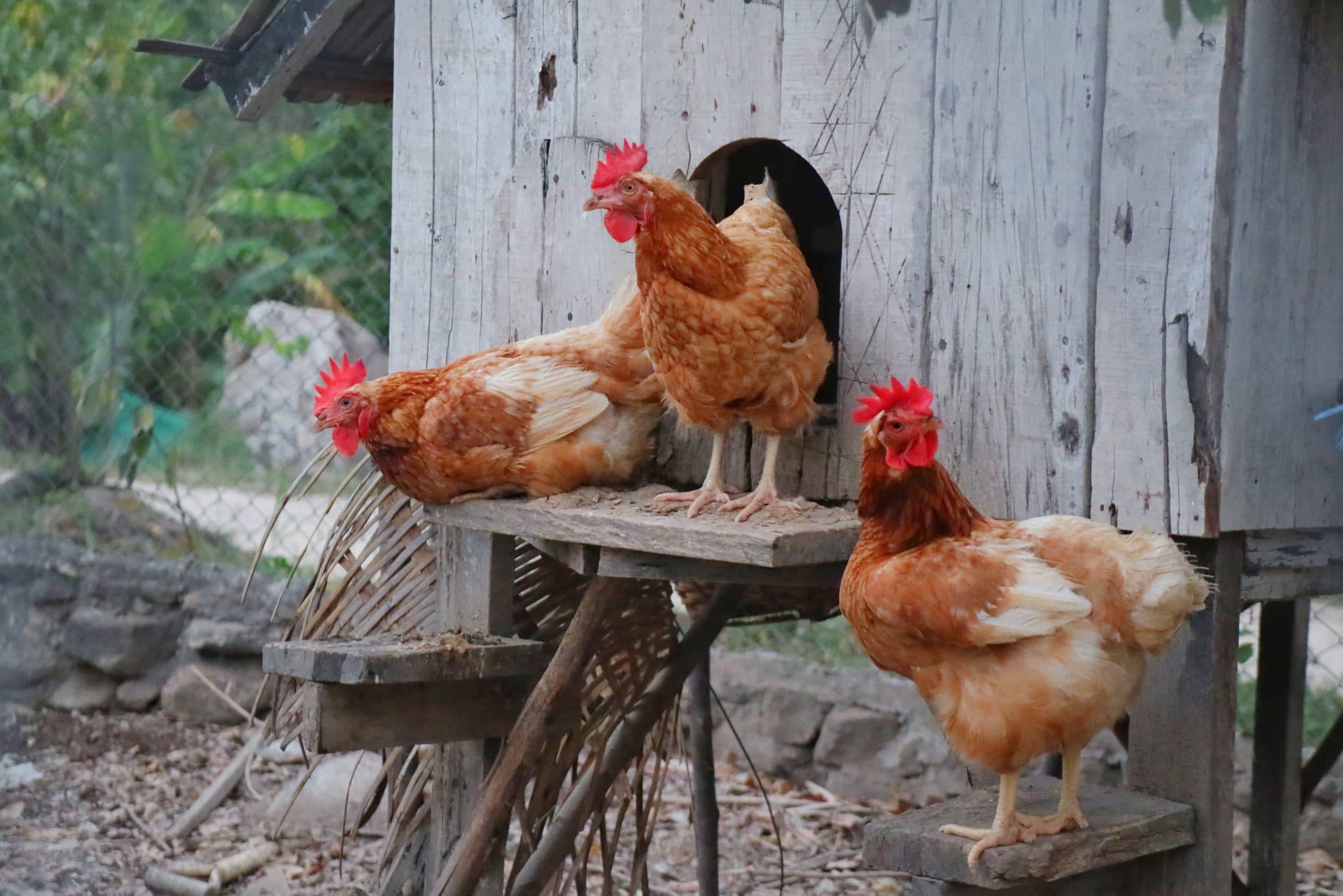 Photo of Wie viel Platz braucht ein Huhn?