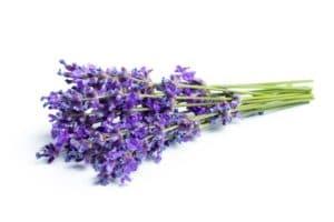 Lavendel eignet sich hervorragend für die Hühnerzucht