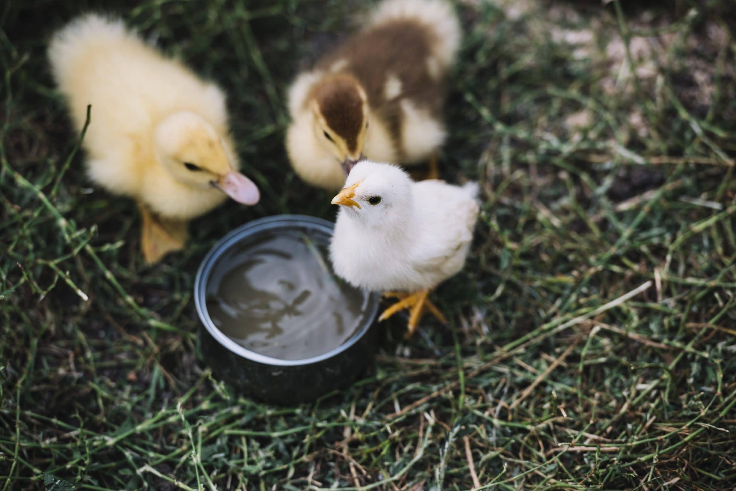 Photo of Was ist schädlich für Hühner?