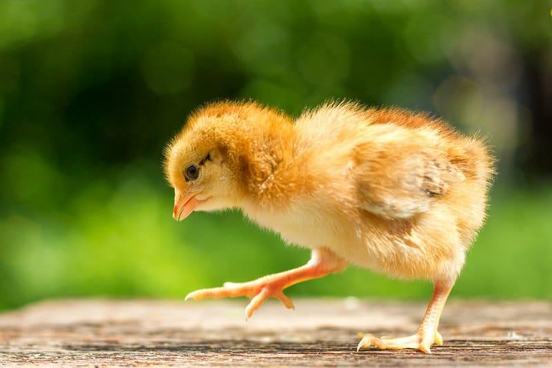 Photo of Wo kann man Hühner kaufen?