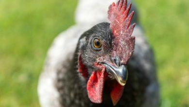 Photo of 10 wissenswerte Fragen und Antworten über Hühner
